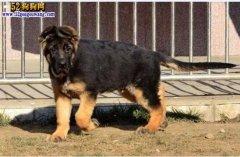 【德国牧羊犬价格】德牧多少钱一只能买到?