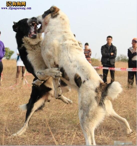 高加索咬狼犬品种介绍,与高加索犬有什么关系?