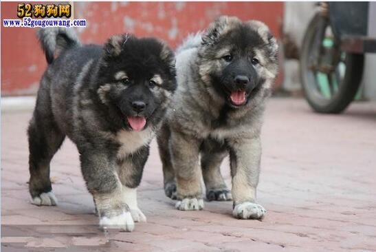 高加索犬价格