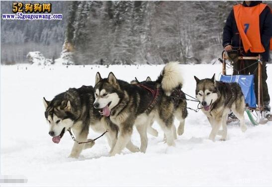 阿拉斯加雪橇犬简介 带您了解阿拉斯加是一个怎样的狗狗!