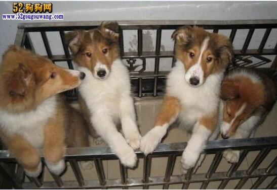 苏牧犬多少钱一只?