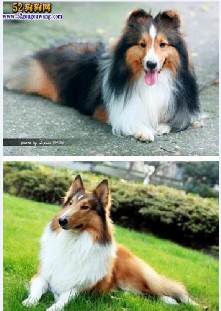 苏牧和喜乐蒂犬的区别?