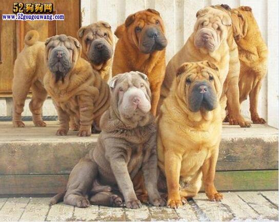 沙皮狗多少钱一只?