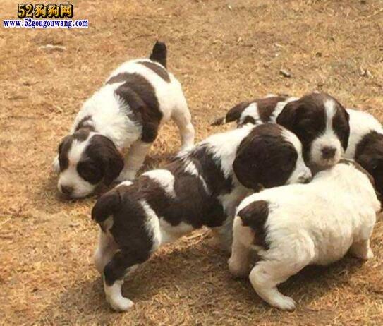 史宾格犬多少钱一只?