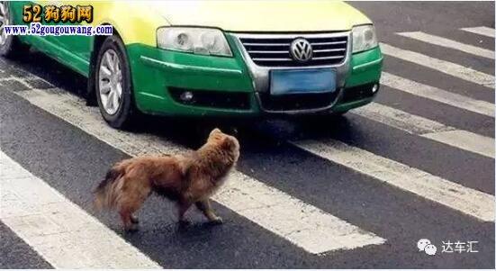 金毛犬撞损兰博基尼需陪40万!狗主人诚恳达成最低赔偿协议!