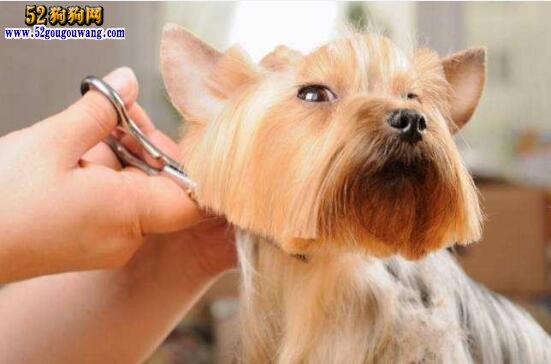 宠物美容:宠物狗狗美容需求与基本要求?