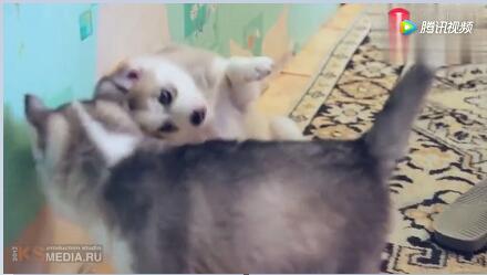 小狗视频:一群哈士奇小奶狗可爱极了