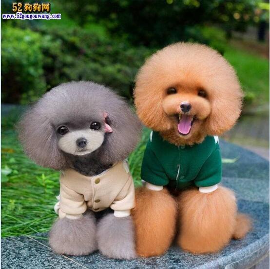 各种狗的图片_泰迪狗图片:各种可爱的泰迪狗狗图片大全-泰迪犬-52狗狗网