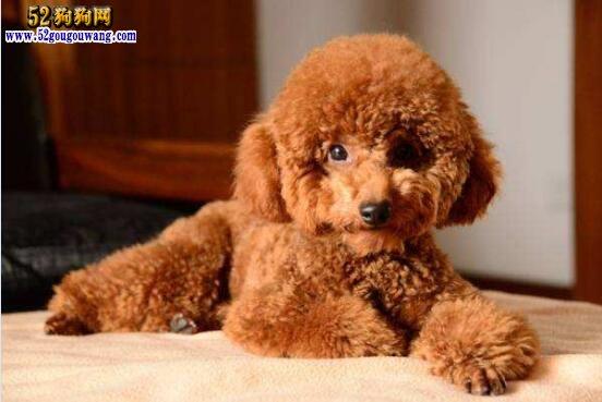 纯种泰迪犬:纯种泰迪狗的特点详解