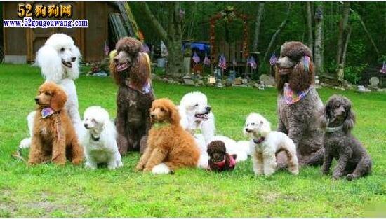 巨型贵宾犬:巨型贵宾犬品种介绍