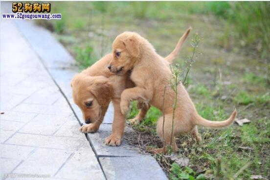 金毛犬多少钱一只?