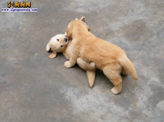 小金毛犬价格