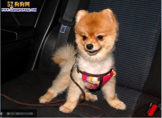 博美犬图片:各种可爱的博美犬图片欣赏