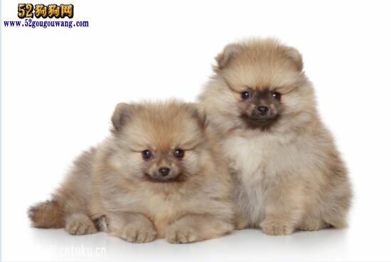 博美犬价格:小博美犬一般多少钱?