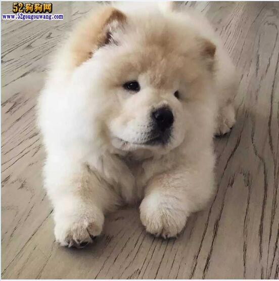 松狮犬图片