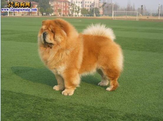 松狮犬怎么看纯种_纯种松狮犬:如何辨别纯种松狮犬?-松狮犬-52狗狗网