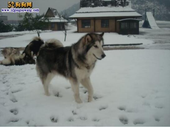 阿拉斯加犬图片