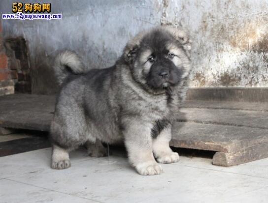 高加索犬多少钱一只