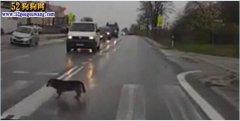 国外狗狗过马路走斑马线还等车!
