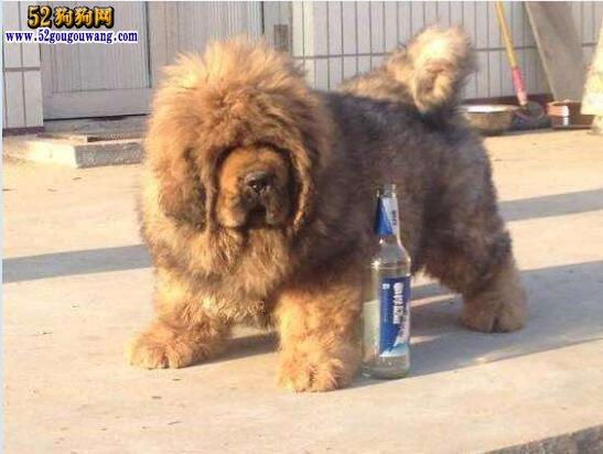 藏獒幼犬价格