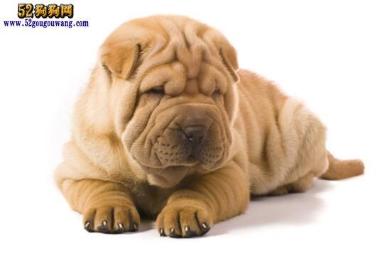 沙皮狗一般多少钱_沙皮狗价格:沙皮狗一般多少钱?-沙皮狗-52狗狗网