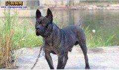 我国国宝级猛犬:川东猎犬!勇猛
