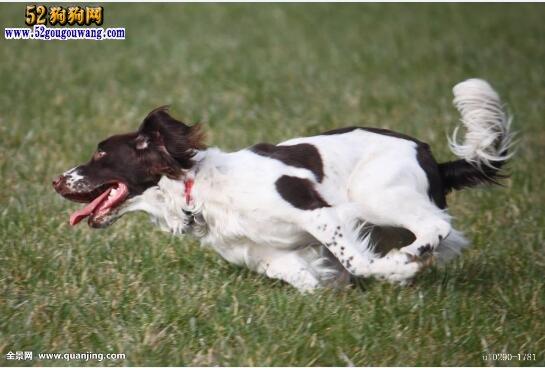 史宾格犬图片