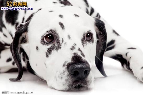 斑点狗图片