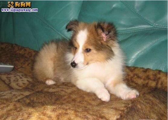 喜乐蒂幼犬:喜乐蒂幼犬选购与饲养