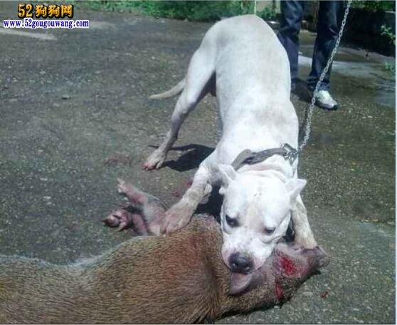 杜高犬出售