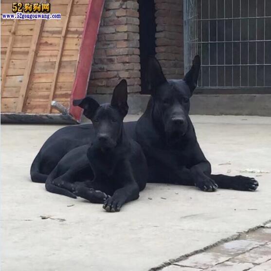 黑狼犬价格