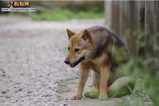 中华田园犬图片