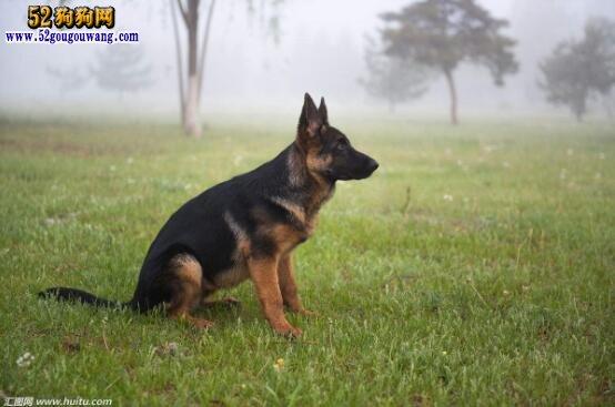 狗狗品种大全及图片
