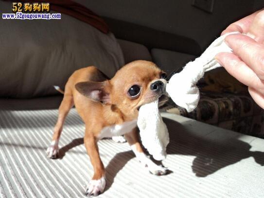 吉娃娃狗太恶心