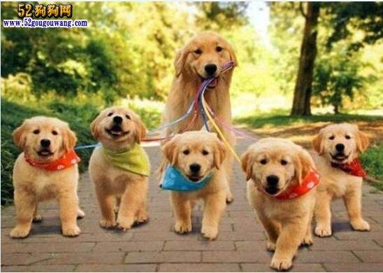 小金毛犬图片