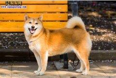 【日本柴犬】