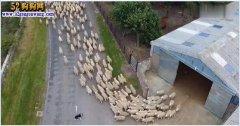 世界上最聪明的边牧驱赶羊群就可