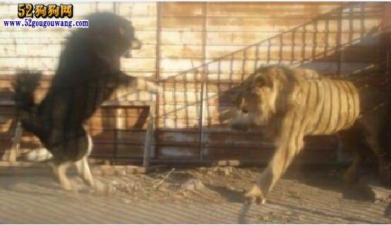 藏獒vs狮子_藏獒和狮子打斗【视频】