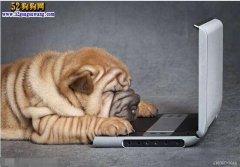 沙皮狗聪明吗