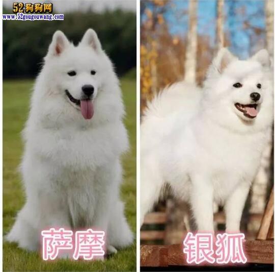 银狐和萨摩耶的区别