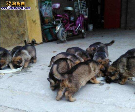 狼青犬价格