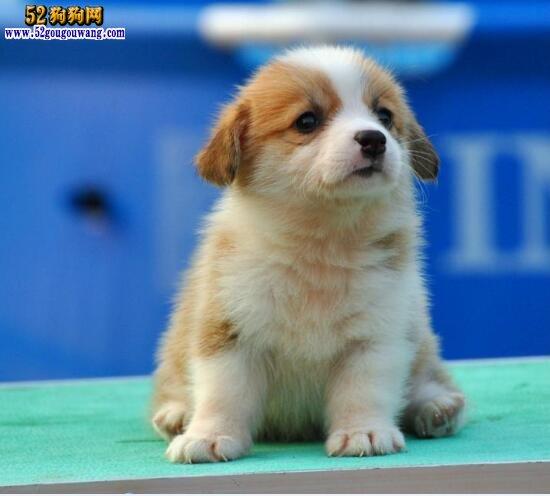 柯基犬一般多少钱