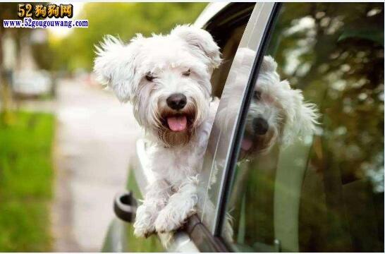 狗狗行为分析:狗狗坐车喜欢把头探出窗外怎么回事?