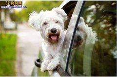 狗狗行为分析:狗狗坐车喜欢把头