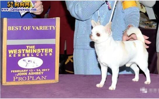 2万元的吉娃娃狗图片