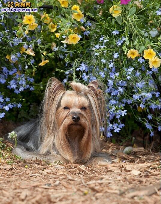 约克夏梗犬