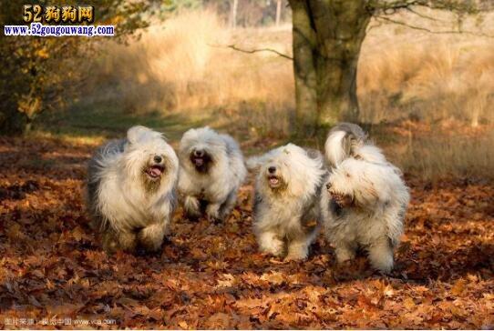 古代牧羊犬多少钱一只