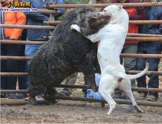 纯种杜高犬