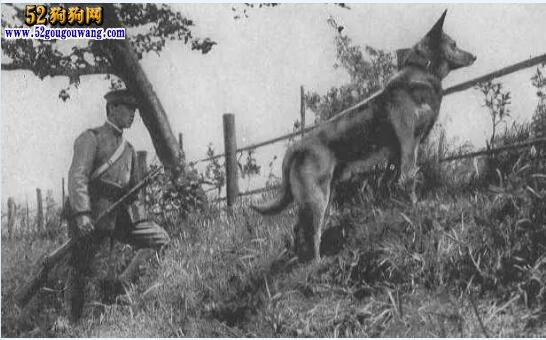 日本狼青犬、日本狼青犬个我国狼青犬有什么区别?