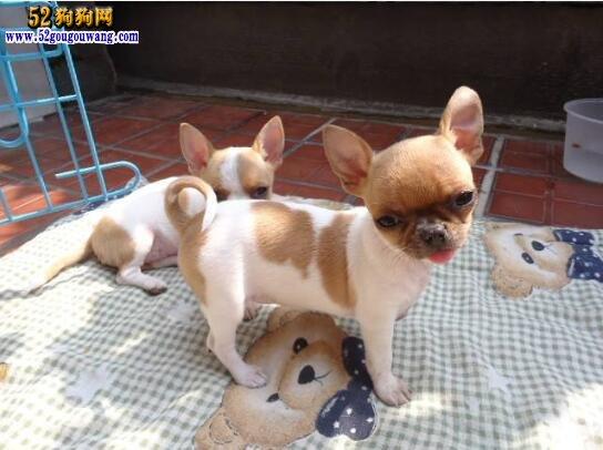 吉娃娃狗图片